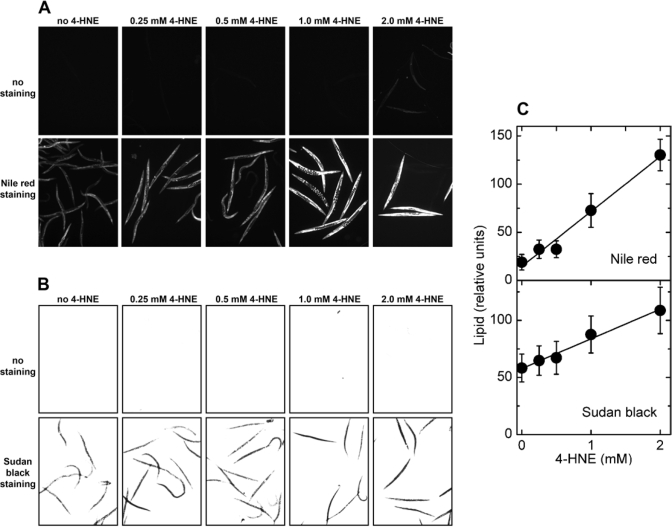 Effects of direct treatment with 4‑HNE on lipid accumulation in C. elegans