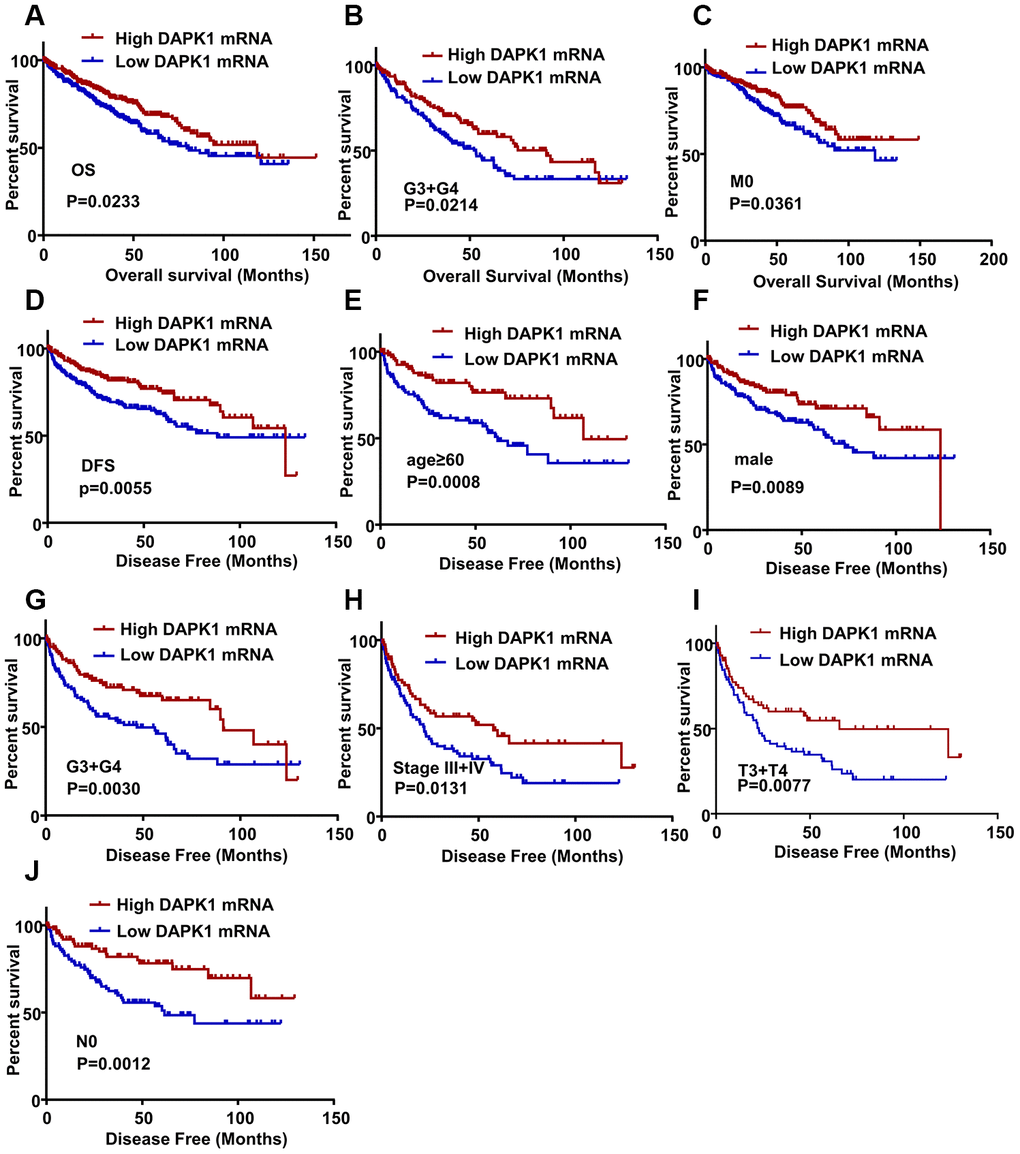 DAPK1 expression correlates with OS and DFS of ccRCC patients. (A) Kaplan-Meier survival curve analysis shows the overall survival (OS) rates of ccRCC patients with low and high DAPK1 expression. (B, C) Kaplan-Meier survival curve analysis shows OS of ccRCC patients belonging to (B) G3 + G4 tumor grades and (C) M0 stage tumors based on low or high DAPK1 expression. (D) Kaplan-Meier survival curve analysis shows disease-free survival (DFS) rates of ccRCC patients with low or high DAPK1 expression. (E–J) Kaplan-Meier survival curve analysis shows DFS rates based on low or high DAPK1 expression in different patient subgroups, including (E) age ≥ 60 y, (F) male, (G) G3 + G4 stage (H) pathologic stages III + IV, (I) T3 + T4 stage, and (J) N0 stage.