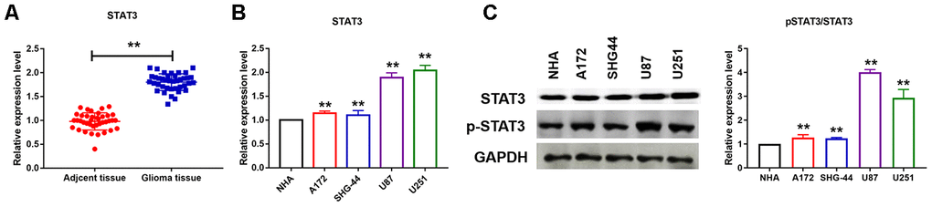 STAT3 was activated in U251 and U87 cells. (A, B) qRT-PCR analysis showed upregulation of STAT3 in cancer tissues and different cancer cell lines. Data are mean ± SEM; Two-tailed t test was used for the statistical analysis. n= 39 glioma patients or 5 independent cell cultures. (C) Western bolt analysis showed protein levels of STAT3 in different cancer cell lines. Data are mean ± SEM; Two-tailed t test was used for the statistical analysis. n=5 independent cell cultures. **P