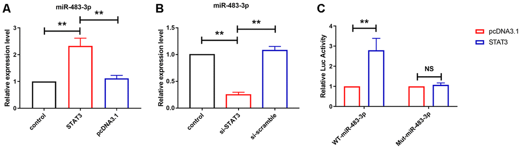 STAT3 transcriptional upregulated miR-483-3p level in U251 cells. (A, B) qRT-PCR analysis showed the expression level of miR-483-3p in U251 cells after overexpression and knockdown of STAT3. Data are mean ± SEM; one-way ANOVA was used for the statistical analysis. n=5 independent cell cultures. (C) Luciferase reporter activities of chimeric vectors carrying the luciferase gene and a fragment of the 3' UTR of miR-483-3p containing the wild type or mutant STAT3 binding sites. Data are mean ± SEM; Two-tailed t test was used for the statistical analysis. n=5 independent cell cultures. **P
