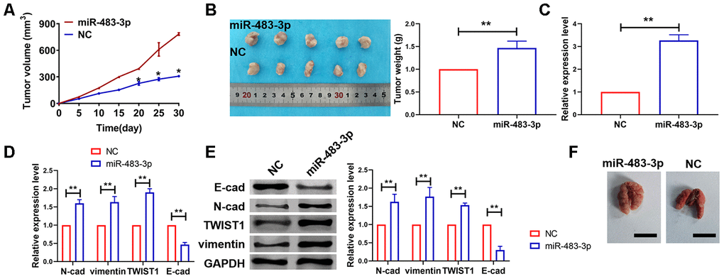 miR-483-3p promoted in vivo tumor growth in the nude mice. (A) Tumor volume was increased after miR-483-3p overexpression. Data are mean ± SEM; Two-tailed t test was used for the statistical analysis. n=5 mice. (B) Tumor weight was increased after miR-483-3p overexpression. Data are mean ± SEM; Two-tailed t test was used for the statistical analysis. n=5 mice. (C) RT-PCR showed miR-483-3p level. Data are mean ± SEM; Two-tailed t test was used for the statistical analysis. n=6 mice. (D) RT-PCR showed mRNA level of EMT related markers. Data are mean ± SEM; Two-tailed t test was used for the statistical analysis. n=5 mice. (E) Western blot showed protein level of EMT markers. Data are mean ± SEM; Two-tailed t test was used for the statistical analysis. n=5 mice. **PF) Pulmonary metastasis of glioma was detected. n=5 mice.