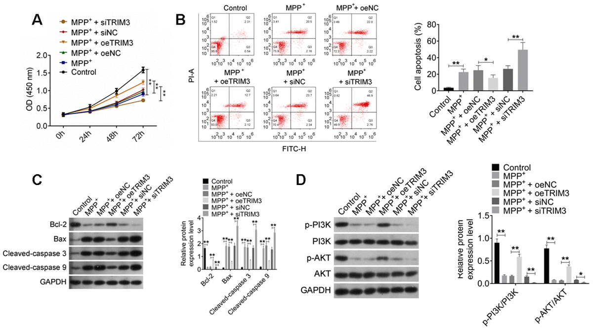 TRIM3 attenuated apoptosis in PD cell model via activating PI3K/AKT signal pathway. (A) TRIM3 promoted proliferation of SH-SY5Y cells induced by MPP+ solution. (B) TRIM3 attenuated apoptosis of SH-SY5Y cells induced by MPP+ solution. (C) TRIM3 elevated Bcl-2 protein expression and reduced Bax, Cleaved-caspase 3 and Cleaved-caspase 9 proteins expression in SH-SY5Y cells induced by MPP+ solution. (D) TRIM3 increased the ratio of p-PI3K/PI3K and p-AKT/AKT in SH-SY5Y cells induced by MPP+ solution. * P P