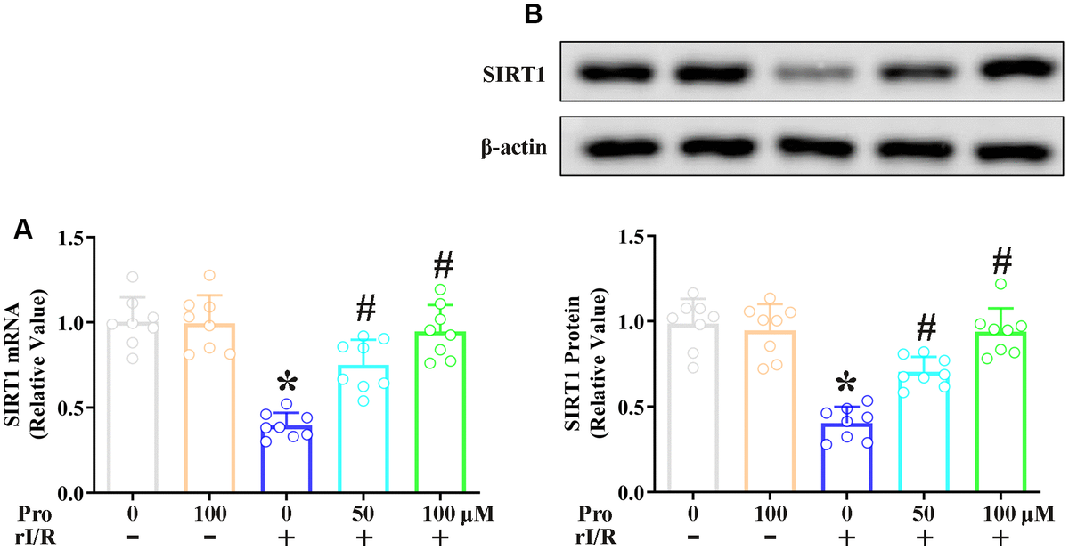 Propofol suppresses the rI/R-induced downregulation of SIRT1 in rat alveolar macrophages. NR8383 cells were incubated with serum from sham or rI/R rats, with or without propofol (50 or 100 μM) for 24 h. (A) Real-time PCR was used to measure SIRT1 mRNA levels. (B) Western blotting was used to measure SIRT1 protein levels (*P #P