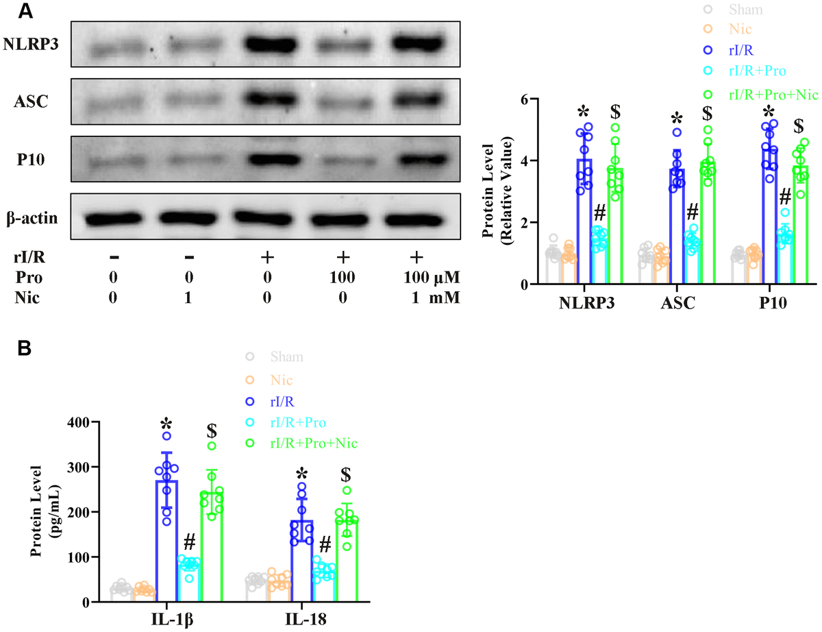The SIRT1 inhibitor nicotinamide prevents propofol from reducing rI/R-induced pyroptosis in rat alveolar macrophages. NR8383 cells were incubated with serum from sham or rI/R rats, with or without propofol (100 μM) and/or nicotinamide (1 mM) for 24 h. (A) Western blotting was used to measure the protein levels of cleaved caspase 1 (P10), ASC and NLRP3. (B) ELISAs were used to determine the protein levels of IL-18 and IL-1β (*P #P $P