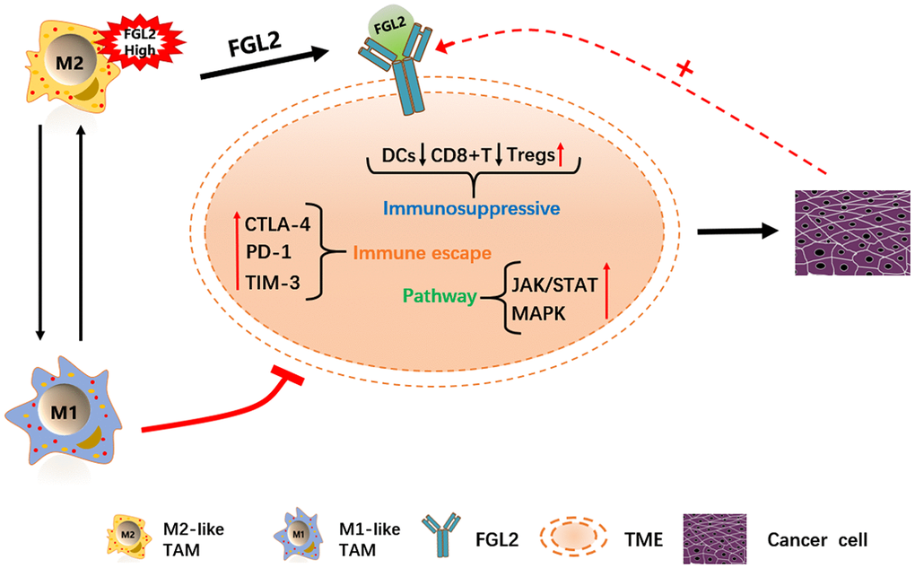 Schematic diagram depicting the potential function of FGL2 in ESCA. M2-like TAMs recruit infiltrating immune cells by upregulating FGL2, producing a microenvironment that promotes the occurrence and development of ESCA. FGL2 levels correlate with infiltrating immune cell levels, and FGL2 promotes immune escape in the esophageal cancer microenvironment. This study has provided new targets for the development of tumor immunotherapies that treat ESCA by reversing the polarization of TAMs into M1-like TAMs.