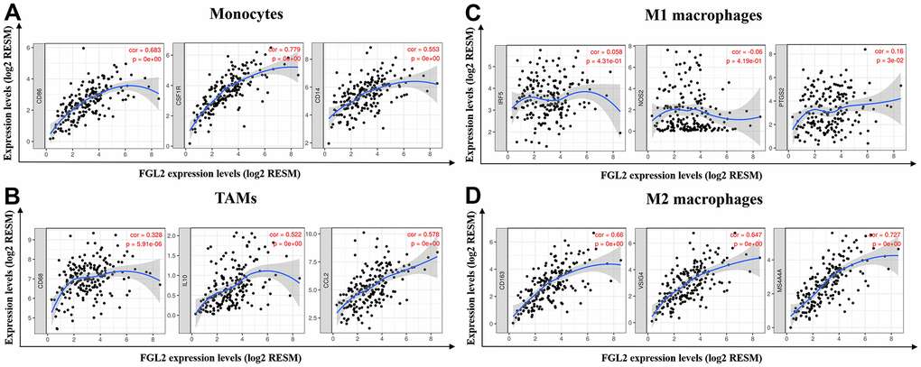 FGL2 expression correlated with TAM polarization in ESCA. (A–D) Scatterplots depicting the correlations between the levels of FGL2 and genetic markers of monocytes (A), TAMs (B), M1 macrophages (C) and M2 macrophages (D). The following immune cell markers were assessed: CD86, CSF1R and CD14 of monocytes; CD68, CCL2 and IL-10 of TAMs; IRF5, NOS2 and PTGS2 of M1 macrophages; and CD163, VSIG4 and MS4A4A of M2 macrophages. P