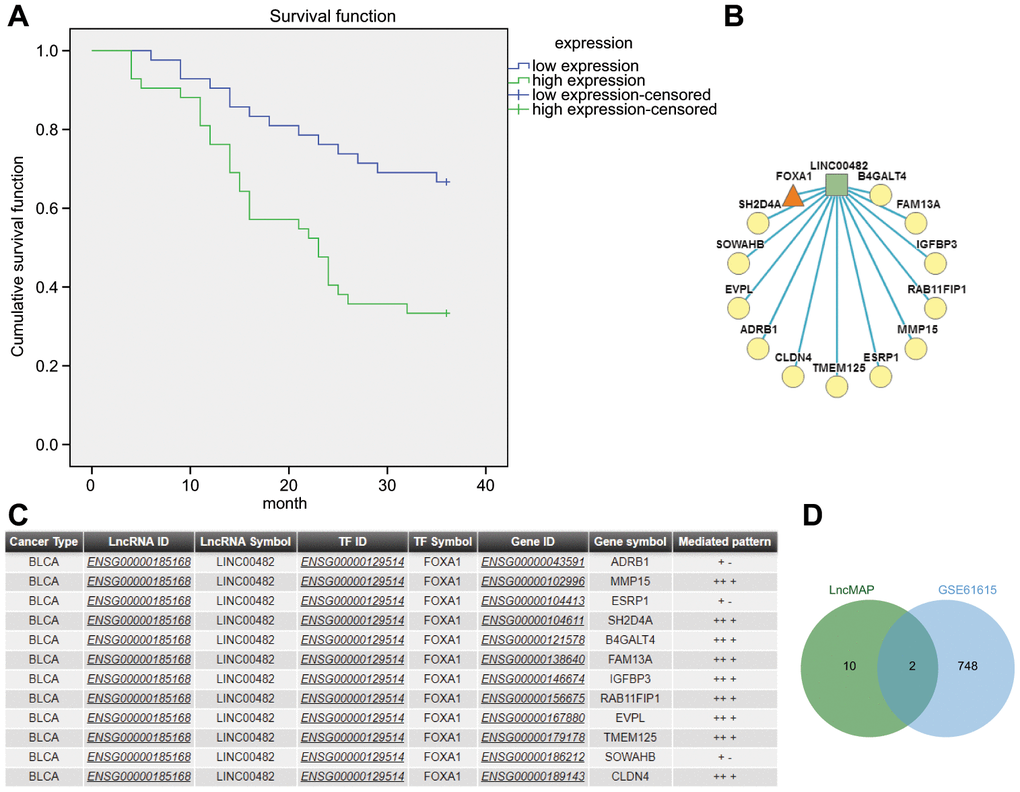 The significance of LINC00482 in bladder cancer. (A) Kaplan-Meier analysis of LINC00482 and survival of bladder cancer patients; (B) the LncRNA-TF-Gene Network obtained by analyzing the triplet formed by LINC00482 and FOXA1 on LncMAP, where the square represented LncRNA, the triangle represented TF and the circle represented gene; (C) the relevant information obtained by analyzing the triplet formed by LINC00482 and FOXA1 on LncMAP; (D) the intersection analysis of genes in triplet and differential genes in GSE61615 on jvenn.