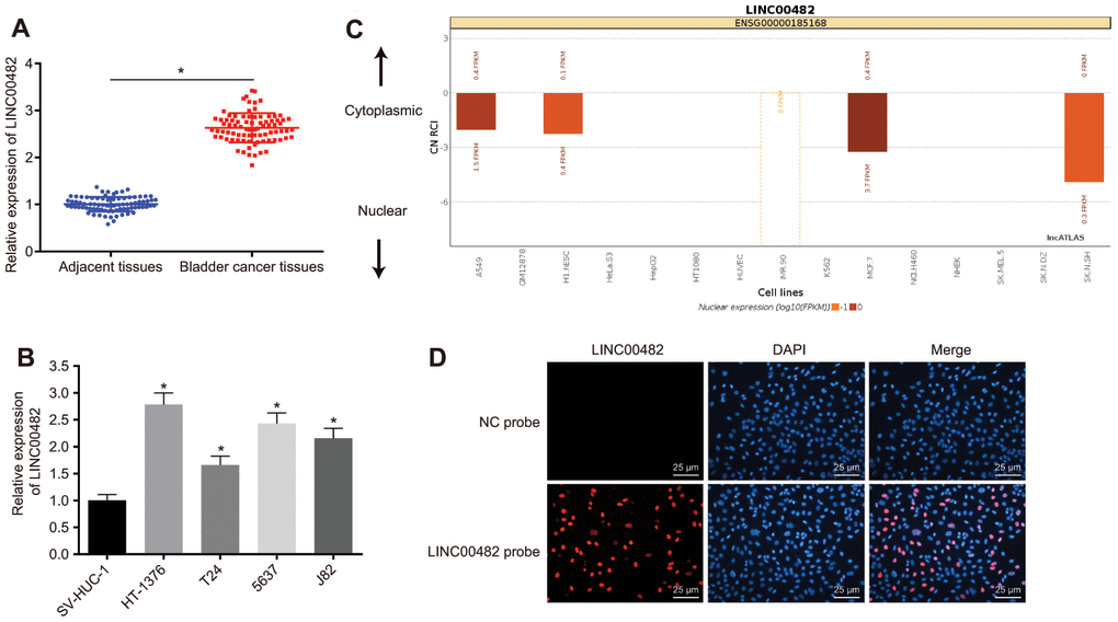 LINC00482 is highly expressed in bladder cancer tissues and cells. (A) The comparison of LINC00482 expression between the bladder cancer and adjacent normal tissues detected by RT-qPCR, n = 84, * p vs. adjacent normal tissues; (B) the expression of LINC00482 in 4 human bladder cancer cell lines and human normal bladder epithelial cells (SV-HUC-1) detected by RT-qPCR, * p vs. SV-HUC-1 cells; (C) the localization of LINC00482 in different cells by online analysis; (D) subcellular localization of LINC00482 detected by RNA-FISH (× 400). The measurement data were presented as mean ± standard deviations. Paired t-test was used for intra-group comparison, while comparisons among multiple groups were analyzed by one-way analysis of variance, followed by Tukey's post-hoc test. Experiments were repeated three times.