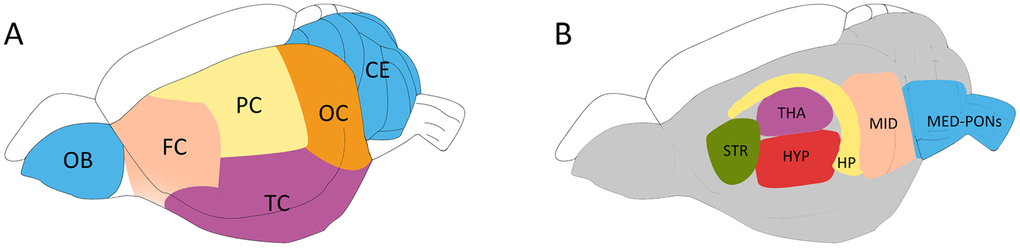 Schematic diagram showing the rat brain regions examined using proton NMR. Blue codes show the olfactory bulb (OB), cerebellum (CE) and cerebral cortical regions (A) and subcortical areas (B) studied. The OB and the cerebellum (CE) were first sampled, followed by the hippocampus (HP), the thalamus (THA) and the striatum (STR). The hypothalamus (HYP), the Midbrain (MID), and Medulla-Pons (MED-PONs) were discarded. The cerebral cortex tissues were coronally cut into four identical parts along the axial axis to represent the frontal cortex (FC), parietal cortex (PC), Temporal cortex (TC), and occipital cortex (OC).