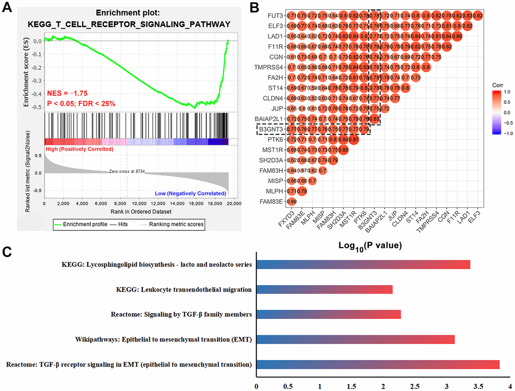Functional enrichment analysis for B3GNT3. (A) GSEA revealed that T cell receptor signaling pathway related gene set (NES = -1.75, P B3GNT3 expression group. (B) Co-expression analysis for B3GNT3 in the TCGA PC dataset using Pearson correlation coefficients (Pearson correlated coefficient (Cor) > 0.75 or C) Pathway enrichment analysis for B3GNT3. GSEA: gene set enrichment analysis; EMT: epithelial to mesenchymal transition; TCGA, the Cancer Genome Atlas; PC: pancreatic cancer.