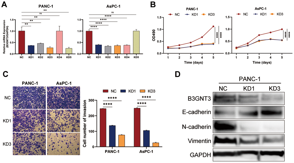 The knockdown of B3GNT3 suppresses the proliferation, invasion, and EMT of PC cells. (A) RT-PCR analysis validated the knockdown of B3GNT3 in PANC-1 and AsPC-1 cells transfected with sh-B3GNT3. (B) Assessment of cell proliferation using the MTT assay. (C) Transwell assay was performed to determine the invasive capacity of PANC-1 and AsPC-1 cells transfected with sh-B3GNT3. (D) WB analysis to investigate the association between B3GNT3 and EMT in PC. PC: pancreatic cancer; EMT: epithelia-mesenchymal transition; WB: western blot. (*p
