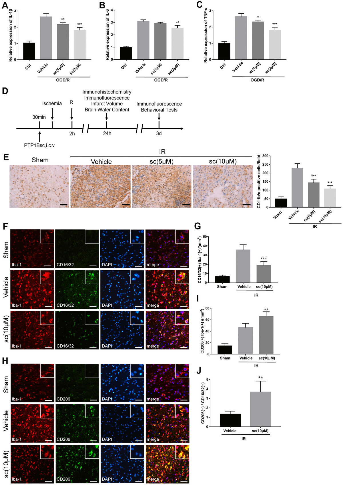 PTP1B inhibitor treatment attenuated microglial activation and promoted M2 microglial polarization after ischemic injury. (A–C) IL-1β, IL-6, and TNF-α mRNA levels after the OGD/R insult were tested by real-time PCR in rat primary microglia. Fold-changes were normalized to β-actin and quantitative results are presented as the mean ± SEM (n = 5 per group). (D) Outline of in vivo experiment to detect the effect of intracerebroventricular administration of PTP1B inhibitor after cerebral IR injury. (E) Immunohistology to detect CD11b/c cell in the ipsilateral cerebral cortex, and quantitative analysis of CD11b/c-positive cell number are presented as the mean ± SEM (n = 5 per group). Scale bar = 50 μm. (F, G) Double immunofluorescence to detect CD16/32(+) Iba-1(+) cell in ipsilateral cerebral cortex 72 h after IR injury, and quantitative analysis of CD16/32(+) Iba-1(+) cell density (presented as the mean ± SEM, n = 6 per group). Scale bar = 50 μm. (H, I) Double immunofluorescence to detect CD206(+) Iba-1(+) cells in the ipsilateral cerebral cortex 72 h after IR injury, and quantitative analysis of CD206(+) Iba-1(+) cell density (presented as the mean ± SEM, n = 6 per group). Scale bar = 50 μm. (J) Quantitative analysis of the ratio of Iba1(+)/CD206(+) microglia to Iba-1(+)/CD16/32(+) microglia; the results are presented as the mean ± SEM. *p p p