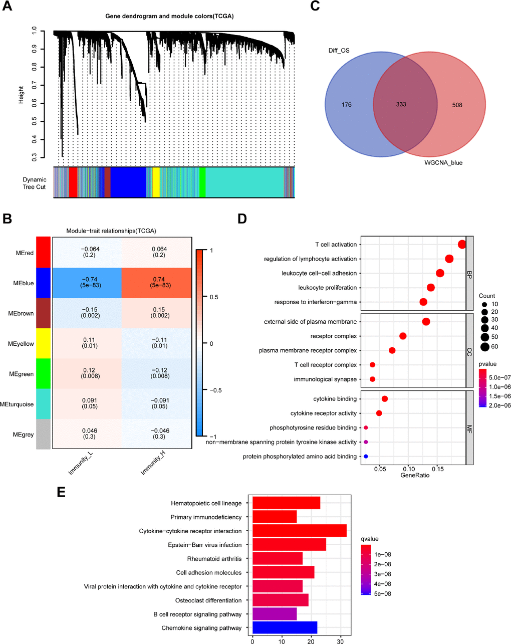 Identification of highly immune-related DEGs with prognostic value and functional analysis. (A) A hierarchical clustering dendrogram is built to detect co-expressed genes in modules in the TCGA dataset of melanoma. (B) A heatmap showing the relationships of consensus module-trait in different modules under the low and high immune cell infiltration groups. (C) Identification of 333 common DEGs from 509 DEGs with prognostic value and the blue module using the Venn diagram software. (D) Top 15 GO terms. (E) Top 10 KEGG pathways.