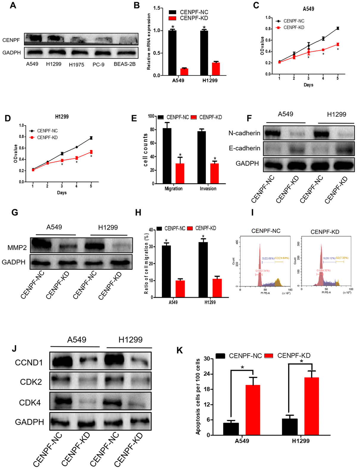 Knockdown of CENPF inhibits cell proliferation, migration, invasion and increases apoptosis of LUAD cells. (A) The protein level of CENPF in A549 and H1299 cell lines were higher than in normal cell lines BEAS-2B and other LUAD cells. GAPDH served as the internal control. (The corresponding gray value are shown in Supplementary Figure 3). (B) The knockdown efficiency of LV-CENPF sh or LV-NC transfected with A549 and H1299 cells was verified by RT-qPCR. *P C, D) MTT showed that CENPF knockdown suppressed the proliferative viability of cells in A549 and H1299 cells. *P E) Migration assays and invasion assays revealed that CENPF-KD decreased cell migration and invasion abilities of A549. (F, G) The related protein E-cadherin was significantly increased (P=0.009, Figure 4F; The corresponding gray value are shown in Supplementary Figure 3G), and N-cadherin and MMP2 were significantly decreased when compared with NC group (P=0.004, 0.012; The corresponding gray value are shown in Supplementary Figure 3H). (H) Quantified histograms of scratch experiment of A549 and H1299. (I) The cell percentage and DNA content were significantly increased in the G1 phase in the CENPF-KD group(P=0.011). (J) The expression of CCND1, CDK2 and CDK4 was significantly lowered in CENPF-KD group (P=0.022, 0.001, 0.002; The corresponding gray value are shown in Supplementary Figure 3M). (K) CENPF knockdown increased apoptosis of A549 and H1299 cell lines (P=0.001, 0.001). Each experiment was performed in triplicate and repeated three times. P values were calculated with two-tailed unpaired Student's t test.