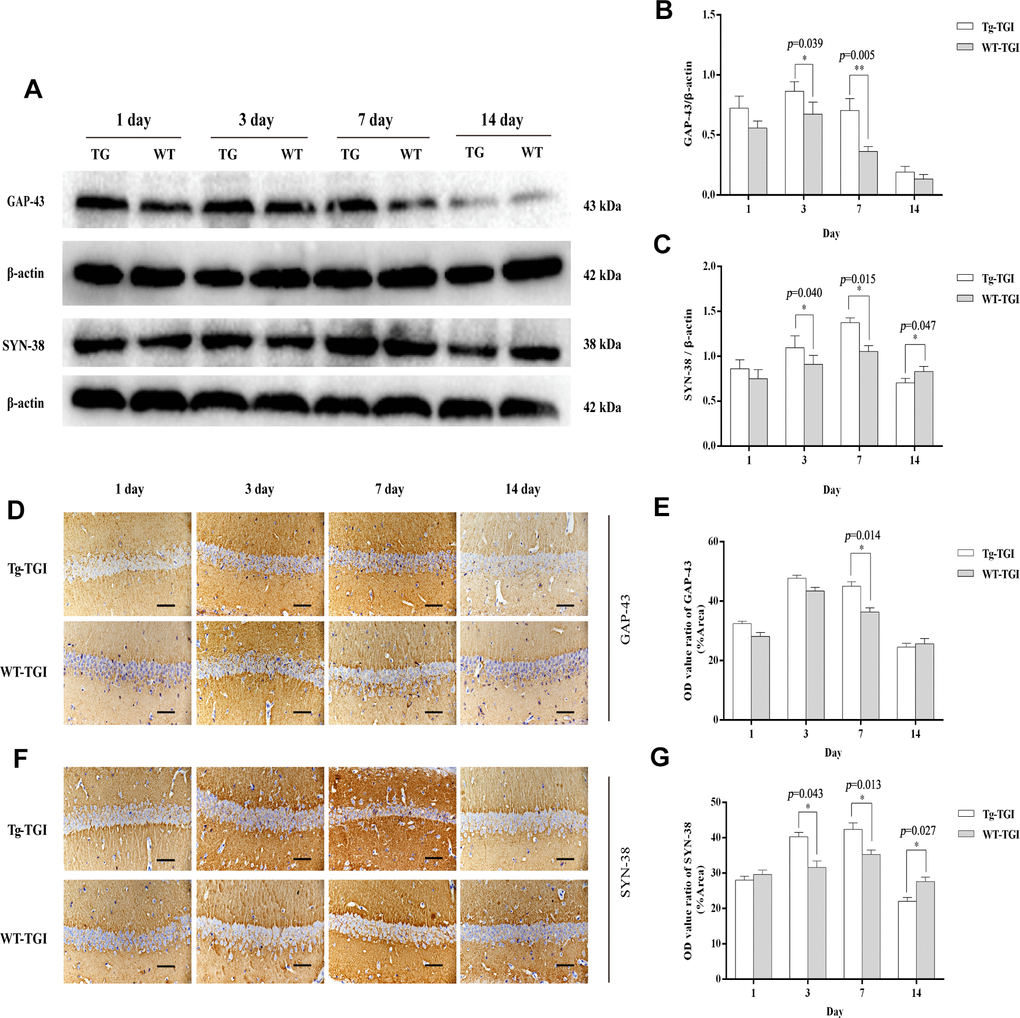 Protective efficacy of neuritin overexpression on cerebral ischemia−reperfusion injury revealed by upregulation of synaptic markers. (A) Western blots of GAP-43 and synaptophysin (SYN-38) expression at the indicated times after transient global ischemia (TGI). β-actin was used as the gel loading control. (B, C) Quantitative analysis of the Western blot results for GAP-43 and SYN-38 shown in (A), respectively. Protein bands were quantified by optical density (OD) measurements. (D, F) Protein expression levels of GAP-43, SYN-38, respectively, in hippocampal CA1 by immunohistochemistry. (E) Quantitative analysis of the immunohistochemistry results for GAP-43 shown in (D). (G) Quantitative analysis of the immunohistochemistry results for SYN-38 shown in (F). Tg-TGI: neuritin-overexpressing transgenic mice subjected to TGI; WT-TGI: wild-type mice subjected to TGI. Six randomly chosen brain sections from three mice were used for statistical analysis. Data are expressed as mean ± S.E.M. n = 6 mice per group, scale bar=50 μm, *p p