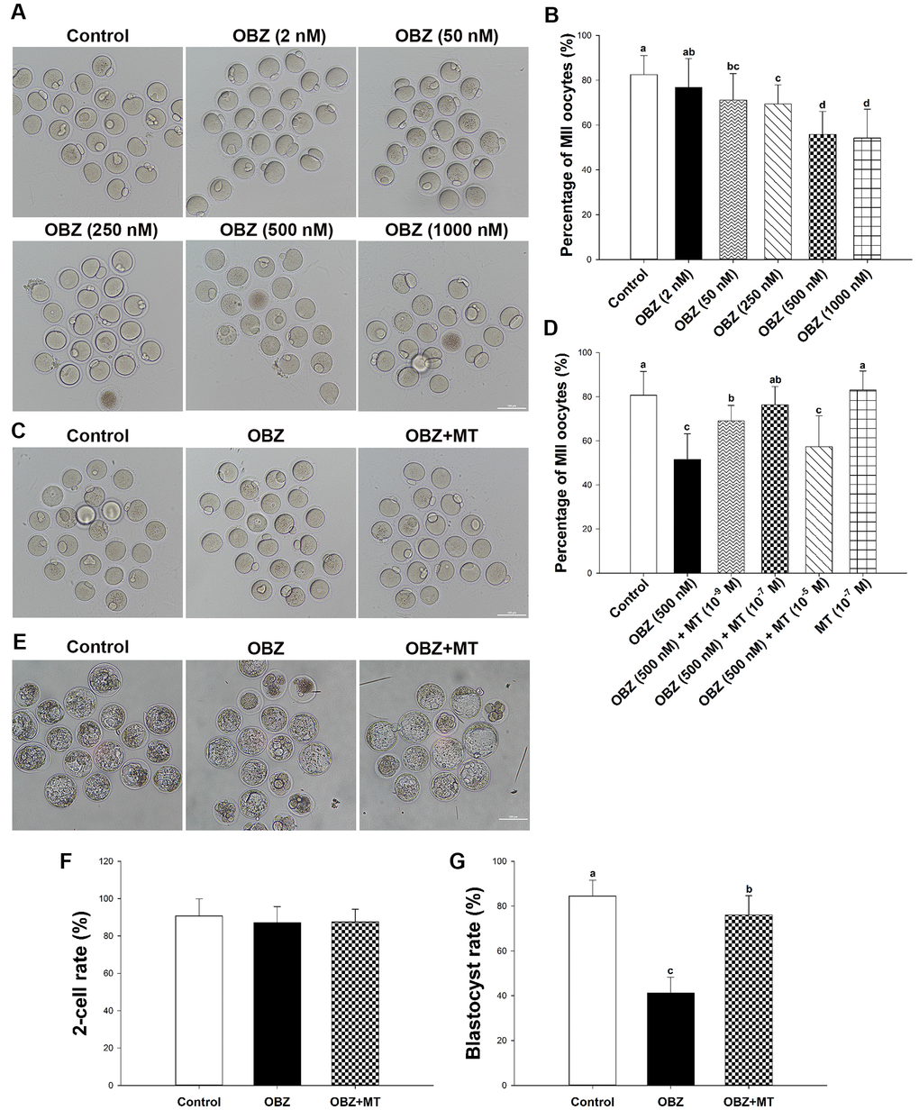 Effects of melatonin on mouse oocytes and embryos following OBZ exposure in vitro. (A) Representative images of oocytes that extruded the first polar body (PB1) in the control and OBZ-exposed groups. Scale bar, 100 μm. (B) Polar body extrusion (PBE) rate in different treatment groups. (C) The mouse oocyte morphologies in the control, OBZ, and OBZ+MT groups. Scale bar, 100 μm. (D) The effects of gradient concentrations of melatonin on the rate of PBE in OBZ-exposed oocytes. (E-G) Mouse embryo morphologies (E) and embryo development rate (F, G) from the 2-cell to blastocyst stages in the control, OBZ, and OBZ+MT groups. Values indicated by different letters are significantly different (P