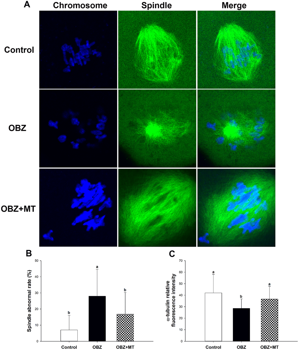 Effects of melatonin on spindle formation and chromosome alignment in OBZ-exposed mice in vivo. (A) Representative images of spindle morphologies and chromosome alignment in the control, OBZ-exposed, and melatonin+OBZ-treated oocytes. Green, α-tubulin; blue, DNA. (B) The rate of abnormal spindles observed in each treatment group. (C) Fluorescence intensity analysis of α-tubulin in the control, OBZ-exposed, and melatonin+OBZ-treated oocytes. Values indicated by different letters are significantly different (P