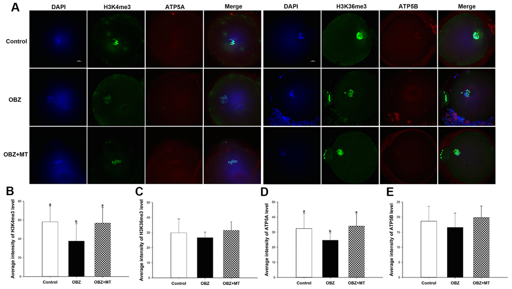Effects of melatonin on H3K4me3, H3K36me3, ATP5A, and ATP5B levels in OBZ-exposed oocytes. (A) Immunofluorescence staining for H3K4me3, H3K36me3, ATP5A, and ATP5B in the control, OBZ-exposed, and melatonin+OBZ-treated oocytes. Green, H3K4me3 and H3K36me3; red, ATP5A and ATP5B; blue, DNA. Scale bar, 10 μm. (B–E) Average fluorescent intensities for H3K4me3 (B), H3K36me3 (C), ATP5A (D), and ATP5B (E) in mouse oocytes from the different groups. Values indicated by different letters are significantly different (P