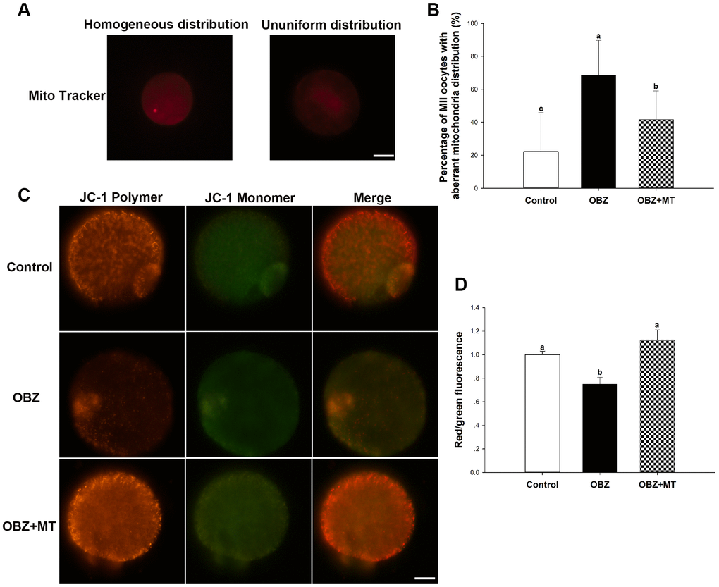 Effects of melatonin on the mitochondrial distribution pattern and mitochondrial membrane potential (ΔΨm) in oxybenzone-exposed mouse oocytes. (A) Representative images of homogeneous and nonuniform distribution patterns of mitochondria in oocytes. Scale bar, 30 μm. (B) Proportion of oocytes with aberrant distribution of mitochondria in each treatment group. (C) Representative images depicting JC-1 in the control, OBZ-exposed, and melatonin+OBZ-treated oocytes. Scale bar, 20 μm. (D) Relative ΔΨm represented as the ratio of red to green intensity. Values indicated by different letters are significantly different (P