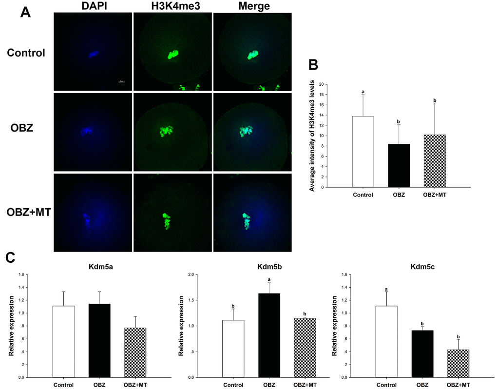 Effects of melatonin on the H3K4me3 levels and expression of the Kdm5 family of genes in OBZ-exposed mice in vivo. (A) Immunofluorescence staining for H3K4me3 in the control, OBZ-exposed, and melatonin+OBZ-treated oocytes. Green, H3K4me3; blue, DNA. Scale bar, 10 μm. (B) Average fluorescence intensity for H3K4me3 in mouse oocytes from the different groups. (C) Expression analysis of genes involved in histone H3K4me3 demethylation (Kdm5a, Kdm5b, and Kdm5c) from different groups. Values indicated by different letters are significantly different (P