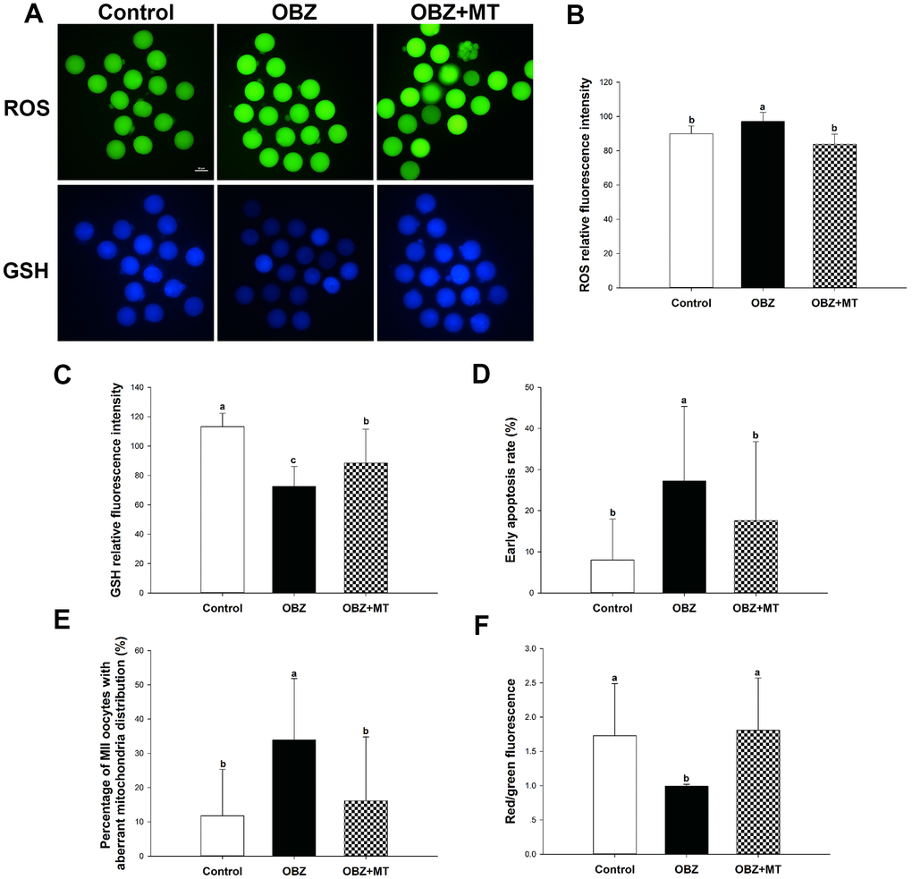 Effects of melatonin on the quality of matured oocytes from OBZ-exposed mice in vivo. (A) Representative images of ROS and GSH levels in the control, OBZ-exposed, and melatonin+OBZ-treated oocytes. Scale bar, 50 μm. (B) Intracellular ROS and (C) GSH levels in mouse oocytes from each treatment group. (D) Proportion of early apoptotic oocytes in each treatment group. (E) Proportion of oocytes with aberrant distribution of mitochondria in each treatment group. (F) Relative MMP is represented as the ratio of red to green intensity. Values indicated by different letters are significantly different (P