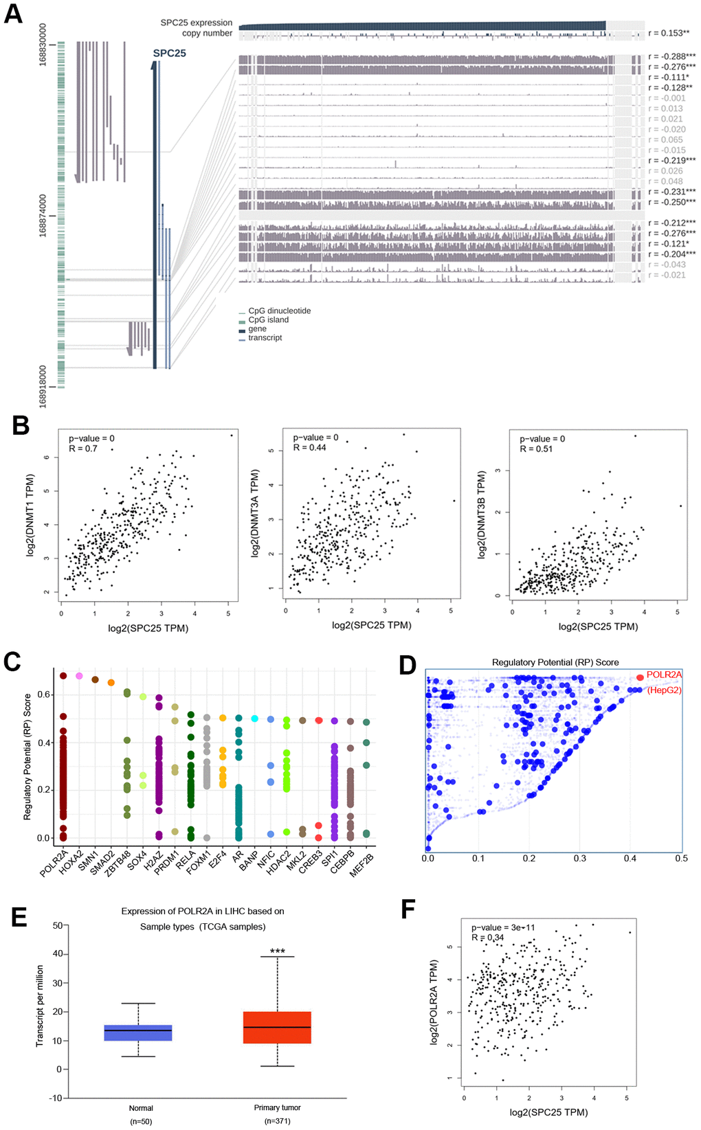 DNA methylation modification and transcription factors associated with SPC25 in HCC. (A) SPC25 DNA methylation modification in HCC. (B) Correlation between SPC25 mRNA expression and DNA methyltransferase (DNMT) expression. (C) Top 20 transcription factors (TFs) that potentially regulate SPC25 in HCC. (D) TFs with high regulatory potential in HepG2 cell lines (10k distance to transcription start site, TSS). (E) POLR2A mRNA expression is significantly higher in HCC samples than in normal samples. (F) Correlation between SPC25 and POLR2A mRNA expression. (*P