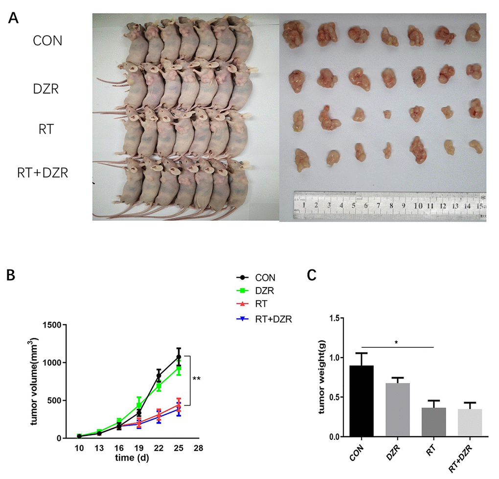 Radiotherapy combined with DZR treatment does not inhibit tumor growth in vivo. (A) Tumor images for each group. (B) Tumor volume changes in nude mice over time. (C) Final tumor weight in nude mice; data are expressed as mean ± SEM, *: p p .
