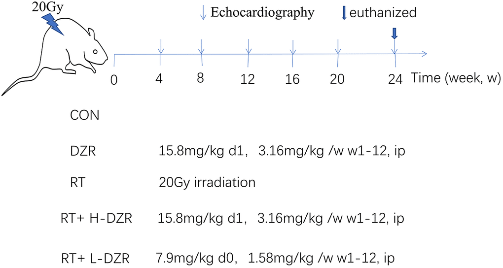 Dexrazoxane treatment. A single 20 Gy dose was administered to the entire rat heart to simulate RIHD; DZR treatment was administered for 12 weeks post-irradiation. Three randomly selected rats from each group were monitored using high-frequency echocardiography at 4, 8, 12, 16, 20, and 24 weeks post irradiation. All rats were euthanized at 24 weeks; serum and heart tissue samples were collected.