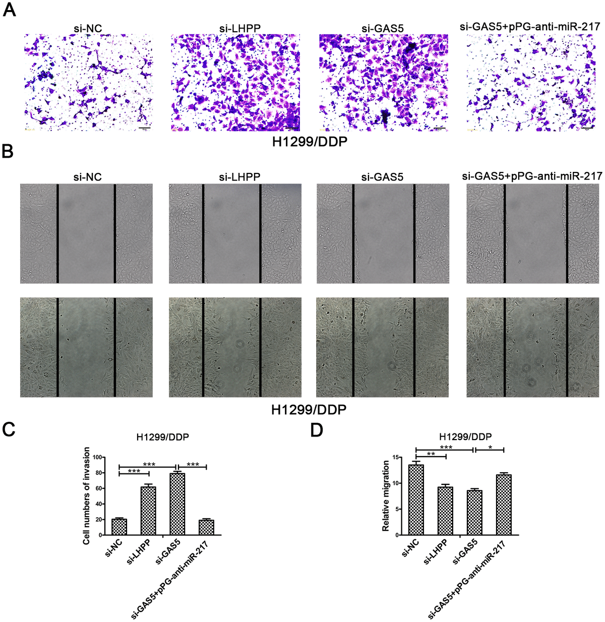 Silencing LHPP or GAS5 promotes cisplatin-resistant NSCLC cell migration and invasion. (A, C) Transwell invasion assays were used to measure the invasion of H1299/DDP cells transfected with si-NC, si-LHPP, si-GAS5 or si-GAS5 + pPG-anti-miR-217. (B, D) Wound healing assays were used to measure the migration of H1299/DDP cells transfected with si-NC, si-LHPP, si-GAS5 or si-GAS5 + pPG-anti-miR-217. *p